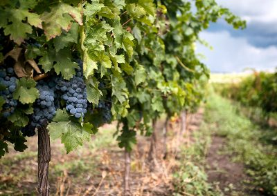 vineyards-sahateni-2